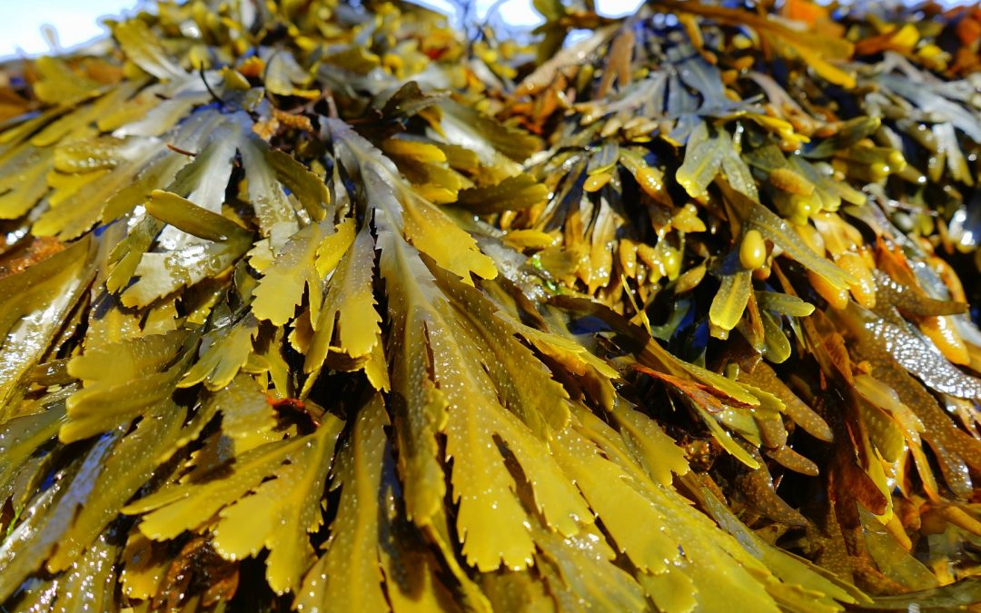 Collecting and Identifying Seaweeds 2019