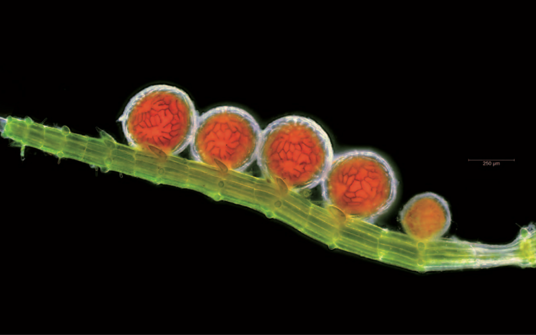 Chara antheridia shortlisted in the Times Photographic Competition