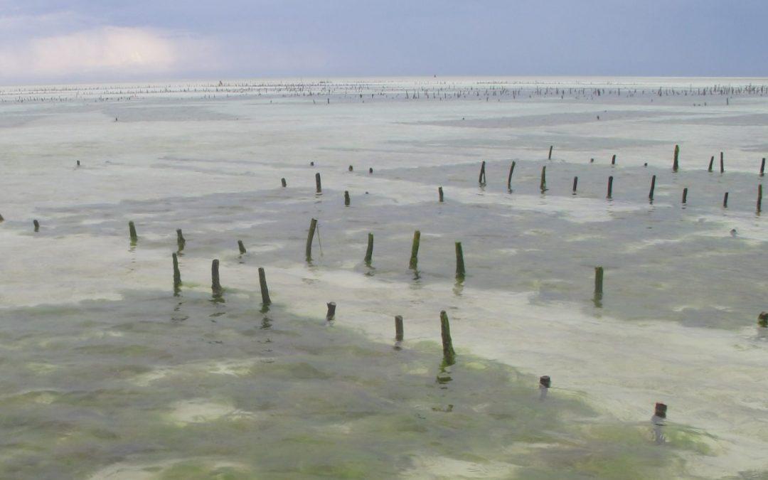 Paje, Zanzibar seaweed farms with fouling green algae
