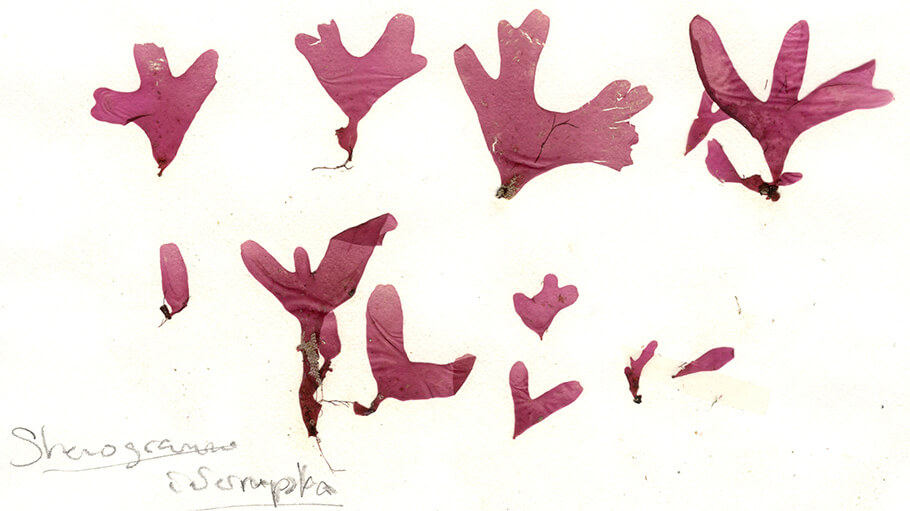New insights from the herbarium of Annette (Netty) Elizabeth Little